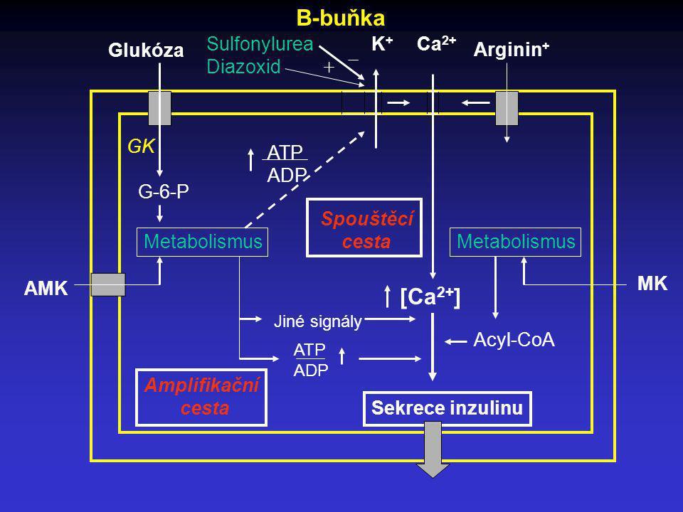 B-buňka [Ca2+] Sulfonylurea Diazoxid K+ Ca2+ Glukóza _ Arginin+ + GK